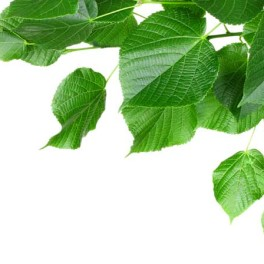 Linden leaves