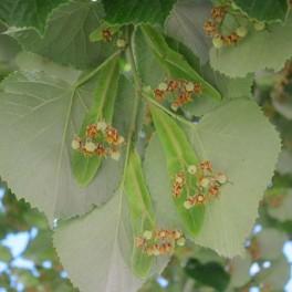 Linden fruit