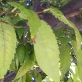 Zelkova leaves