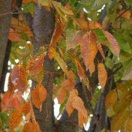 Zelkova fall leaves