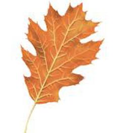 Red oak fall leaf