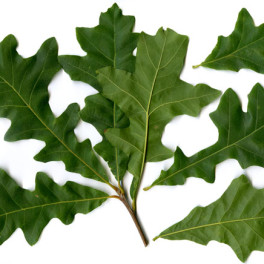 Overcup oak leaf