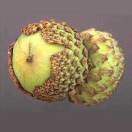 Overcup oak acorns
