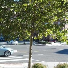 Plane tree Mass and Fla Ave