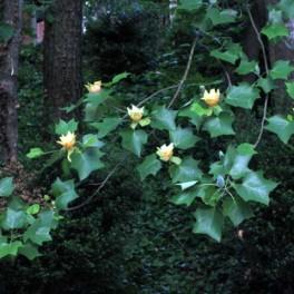 Tulip poplar flowers and leaves
