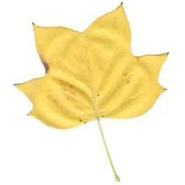 Tulip poplar Fall leaf